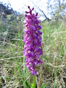 Orchis mascula- Early purple orchid