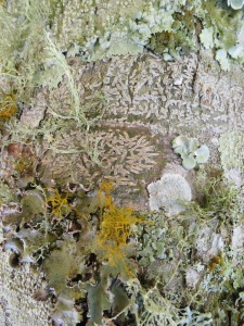 Beautiful lichens on tree trunk.
