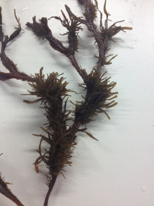 There can be MANY fragments on just one ramete of Fucus radicans