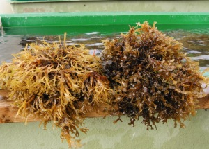 "Fucus radicans (left) is more complex or ""bushy"" than Fucus vesiculosus (right)"