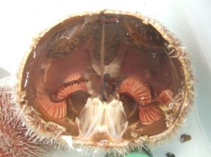 And this is what a sea urchin looks like on the inside.