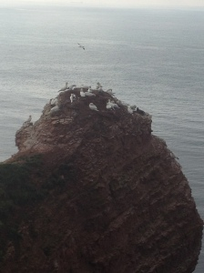 Nestng colony of Northern gannet