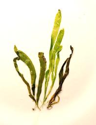2petalonia-fascia